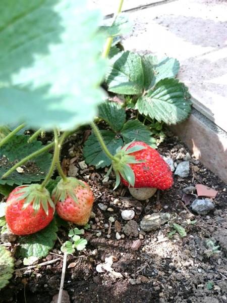 ぬくもりの花壇のイチゴ