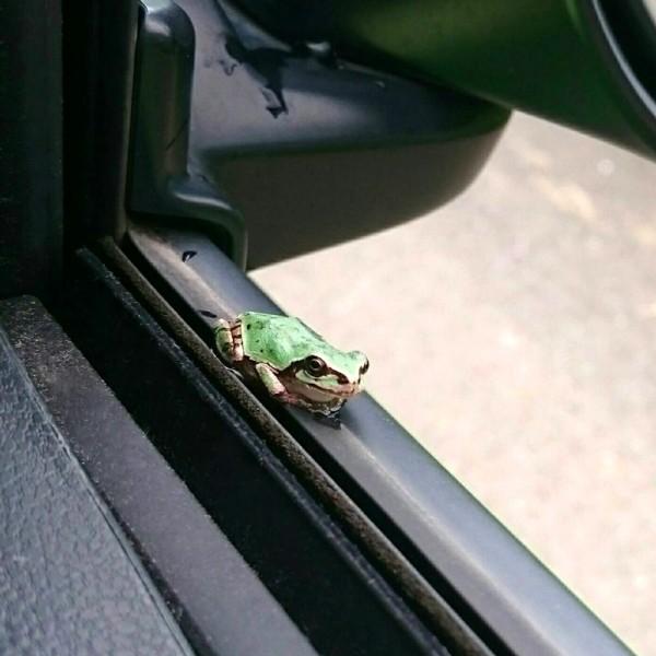 運転席の窓に雨蛙発見❗