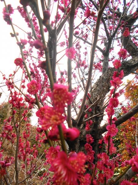見事な紅白の桃と梅