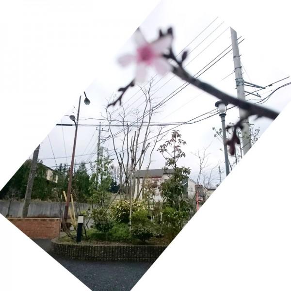 小さな垂れ桜