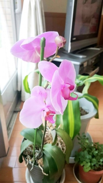 奇跡の胡蝶蘭