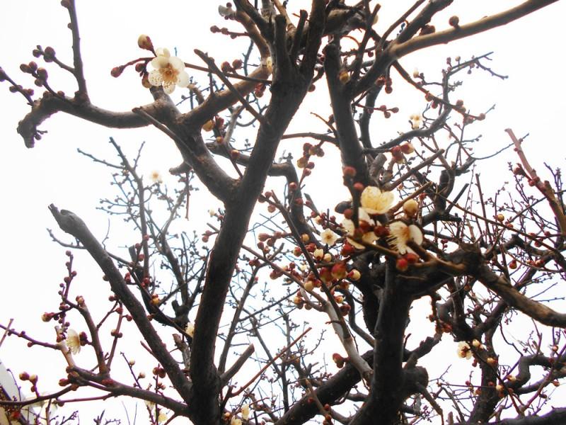 梅の木に花が