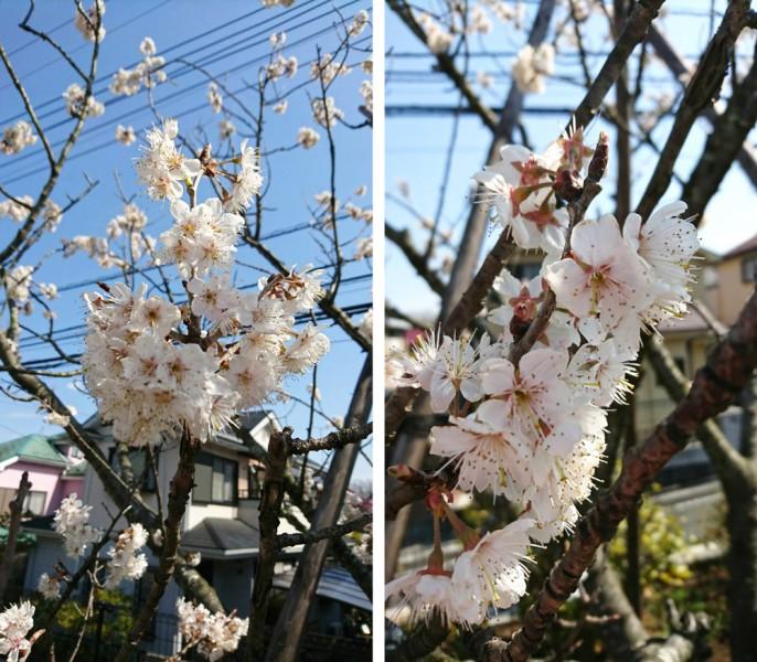 清住の杜町田のお庭のサクラ