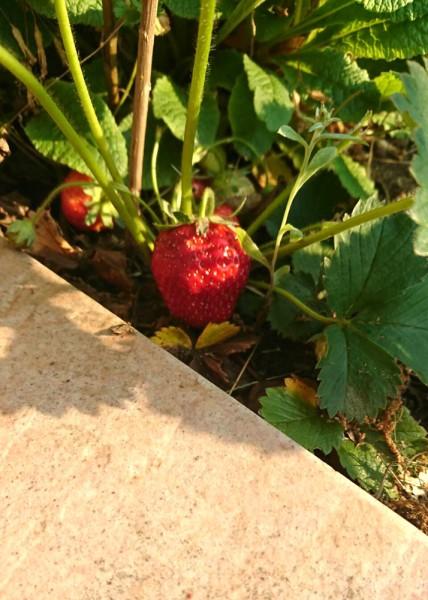 お庭の苺が
