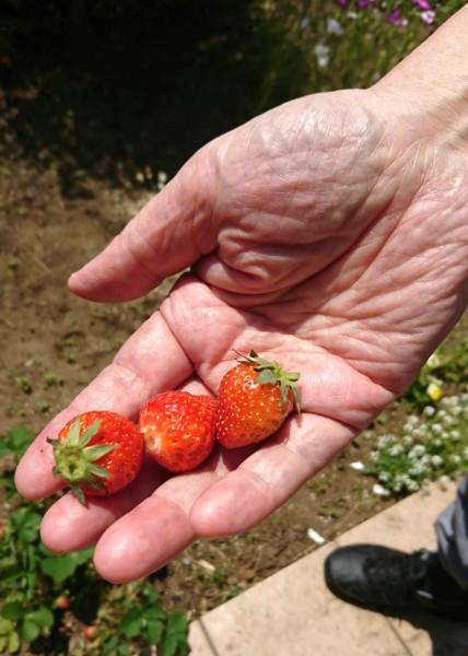 ショートお庭の苺、収穫しました