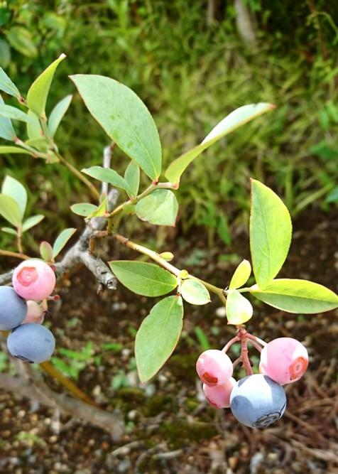 ブルーベリーの季節