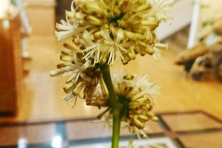 幸福の木の花が