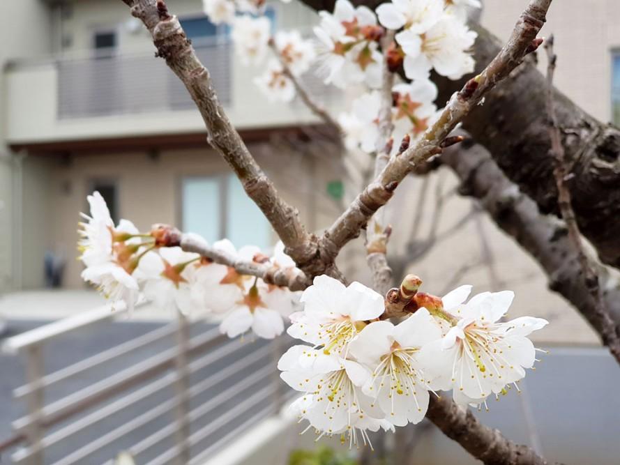 清住の杜町田のお庭のさくらんぼの花が今満