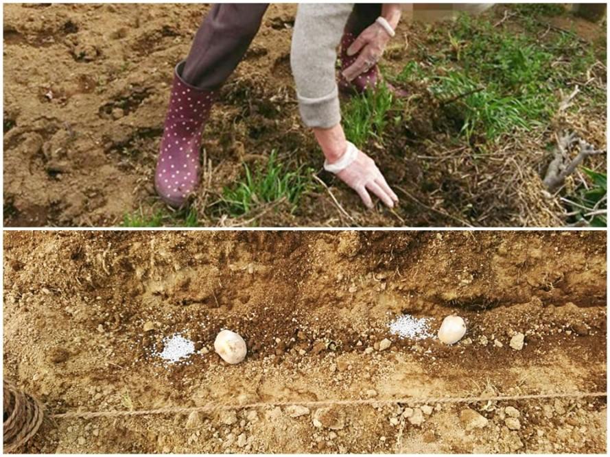 ぬくもりの畑にジャガイモ植え