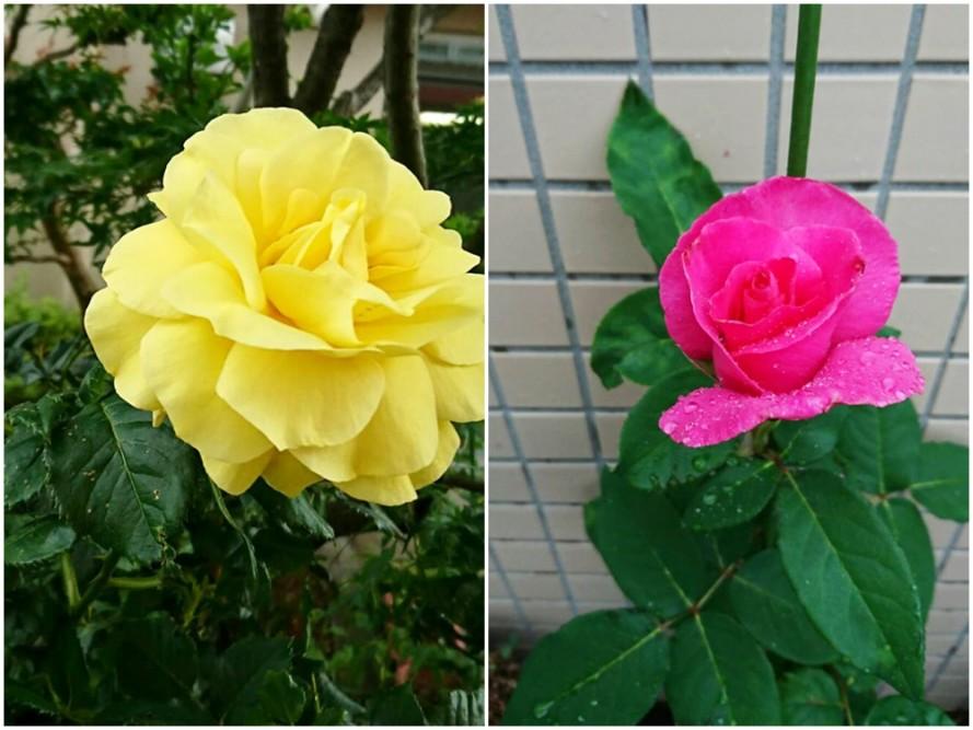 綺麗に薔薇がさきました綺麗に薔薇がさきました綺麗に薔薇がさきました綺麗に薔薇がさきました綺麗に薔薇がさきました綺麗に薔薇がさきました綺麗に薔薇がさきました綺麗に薔薇がさきました綺麗に薔薇がさきました綺麗に薔薇がさきました綺麗に薔薇がさきました綺麗に薔薇がさきました綺麗に薔薇がさきました