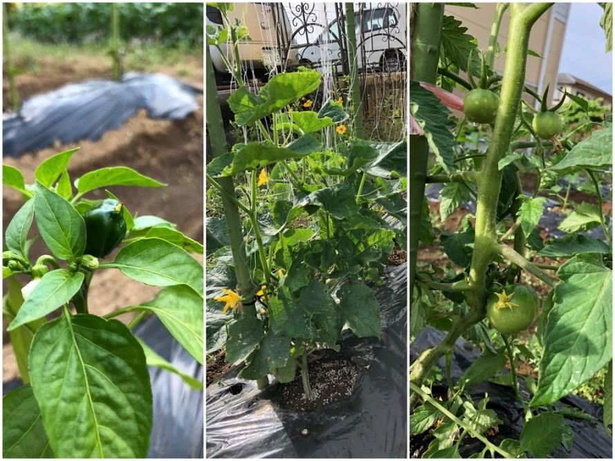 ご利用者と職員共同で夏野菜を育てる