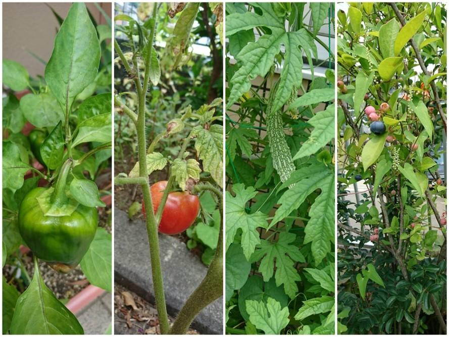 ぬくもりの中庭では夏野菜がすくすく育っています