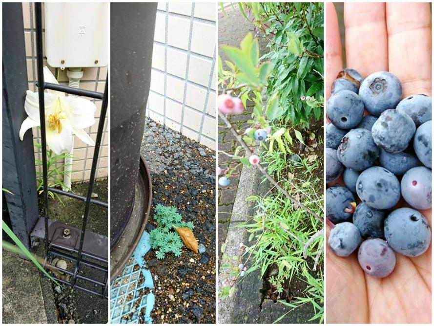 ショートステイ入り口のど根性植物たち