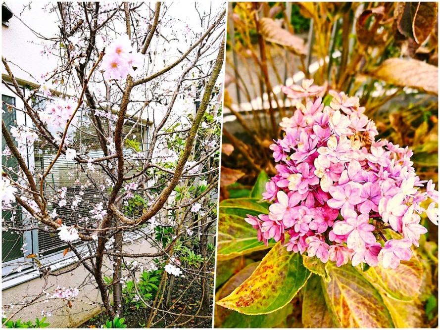 寒桜がきれいに