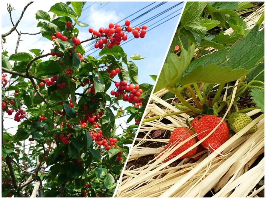 お庭のイチゴとさくらんぼが赤く実りました