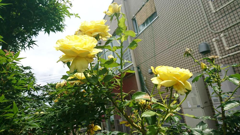 ぬくもりの中庭の黄色いバラ