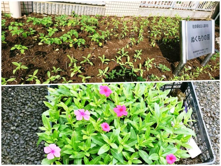 花壇に夏花の苗を植えました