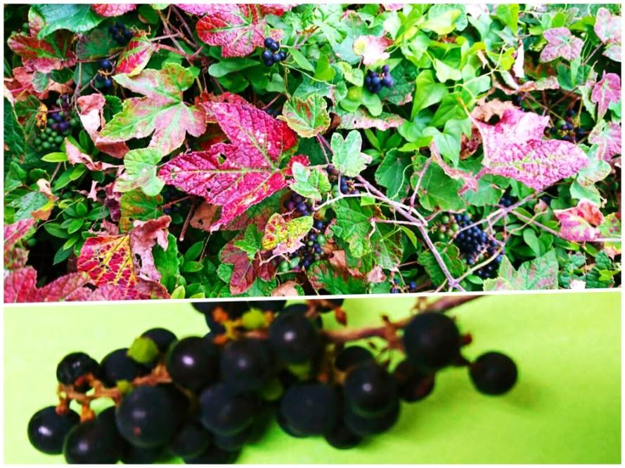 歩道に野葡萄が