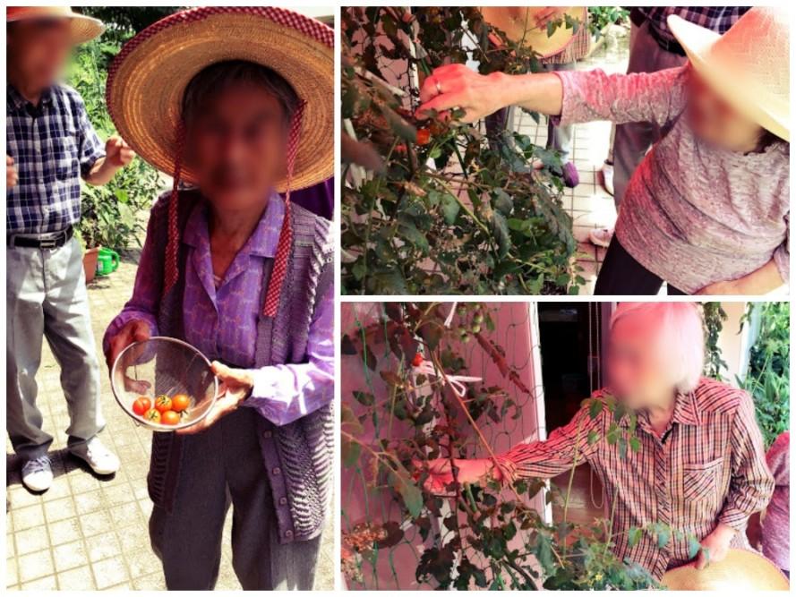 プチトマトを栽培