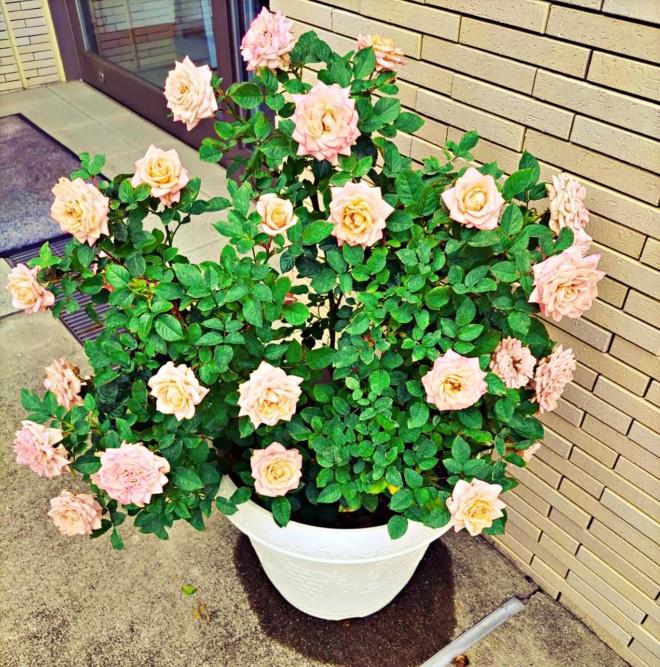 バラが綺麗に咲きました。